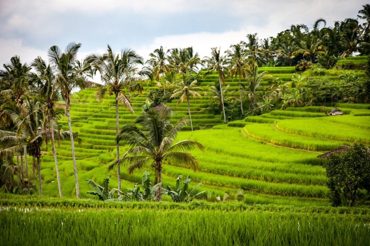 Terraced-rice-fields-of-Bali-near-Ubud