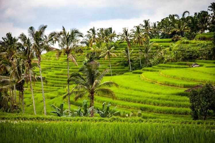 Terraced-rice-fields-of-Bali-near-Ubud